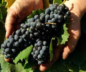 Winemaker Shows Wine Grapes in Vineyard