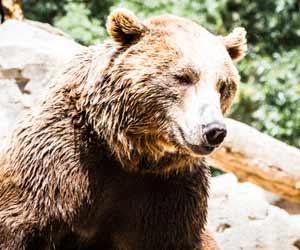 Brown Bear at Denali National Park in Alaska
