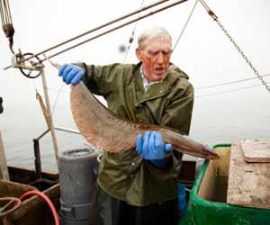 Alaska Halibut Longlining Fishing Boat Skipper checking out a Halibut