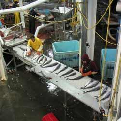 Alaska Seafood Processing Plant Salmon Line