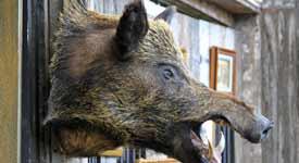 Taxidermist Shows off Mounted Wild Boar Head
